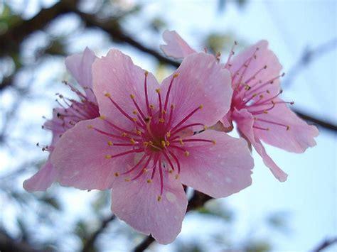 fiori ciliegio la femminilit 224 fiore di ciliegio fiorista