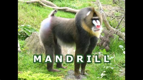 colorful mandrill primate   baboons eating bugs leaves   zoo youtube