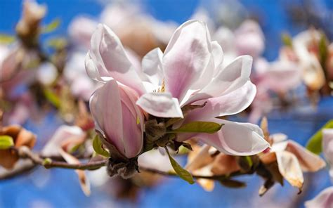 2560x1440 magnolia flowers bloom channel cover magnolia hd wallpaper and background 1920x1200 id