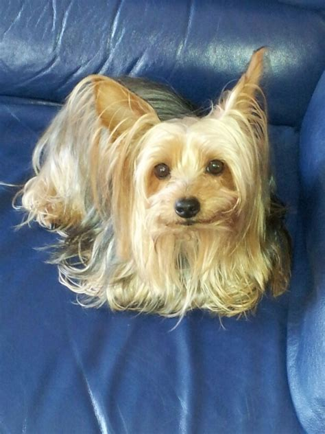 silky and yorkie mix yorkie silky terrier mix breeds picture