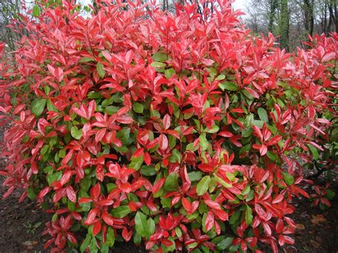 red tip photinia plants on demand
