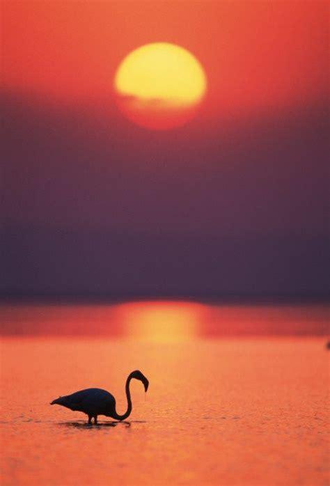 Flamingo Sunset sunset and flamingo sunsets