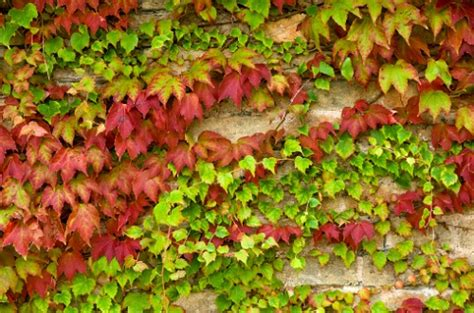 fiori edera significato dei fiori l edera pollicegreen