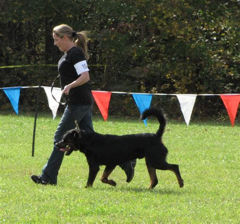 rottweiler akc standard rottweiler puppies for sale in california rotts in ca