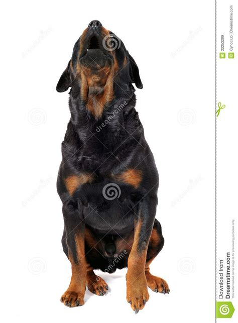 rottweiler barking sounds barking rottweiler royalty free stock images image 22253289