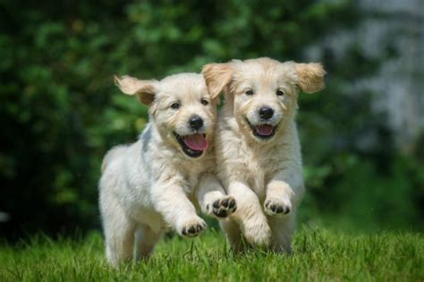 puppies running 8 facts and adorable photos about running with your