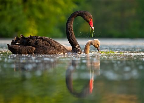 black swan and babies black swan with baby swan wallpapers 1150x821 694921