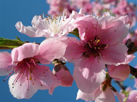 foto fiori file peach flowers 2366535917 jpg wikimedia commons
