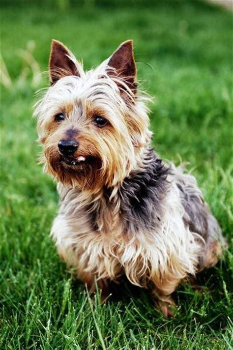 cairn terrier and yorkie mix cairn terrier yorkie mix pictures