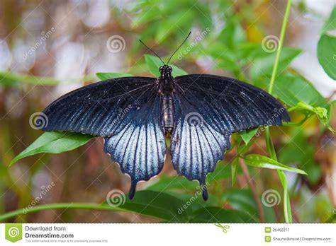 imagenes de mariposas negras grandes mariposa negra grande del swallowtail en la hoja verde