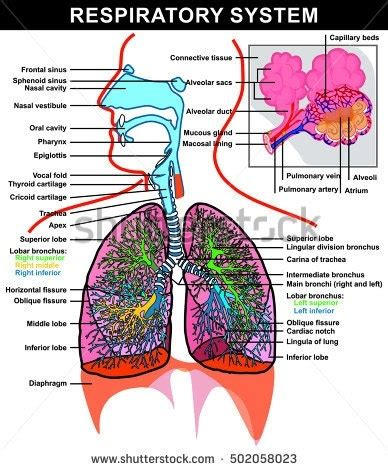 Diagram Respiratory Tract Of Earthworm Human Anatomy Picture Detailed Diagram Of The Lungs 2018 World Of Diagrams