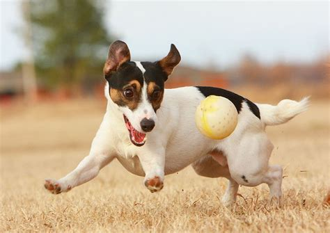 playful puppies terrier jrt ground mammals