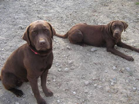 chocolate lab puppies for adoption chocolate lab puppies for sale adoption from santee california san diego adpost