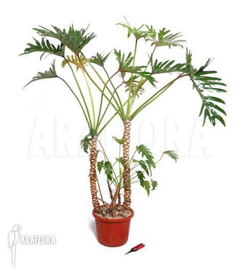 araflora flora more philodendron xanadu