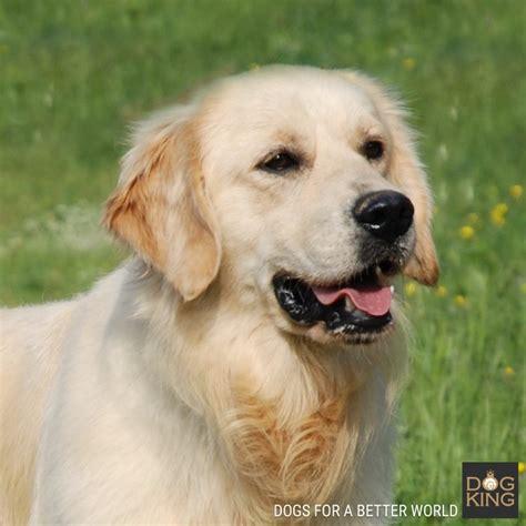 criadero golden retriever comprar cachorro golden retriever criadero dogking