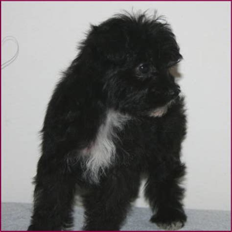 rolling puppies yorkipoo yorkiepoo yorkie poodle hybrid mixed puppy