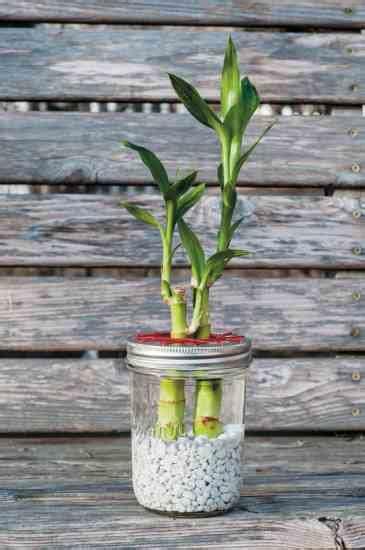 grow lucky bamboo   diy water garden healthy home
