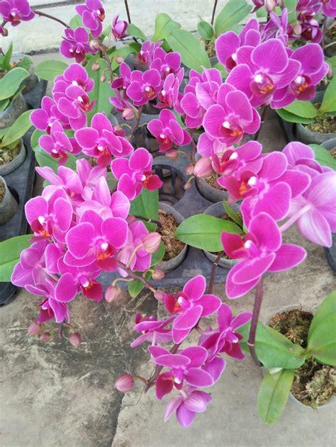 Tanaman Anggrek Bulan Koleksi 5 jual anggrek bulan bunga mini warna ungu untuk 10pcs di