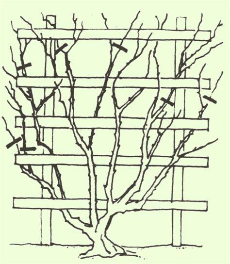 kletterrosen richtig schneiden schneiden pflanzenfreunde