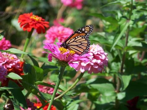 Monarch On Zinnia Butterfly Garden For Humans And Butterfly Flower Garden