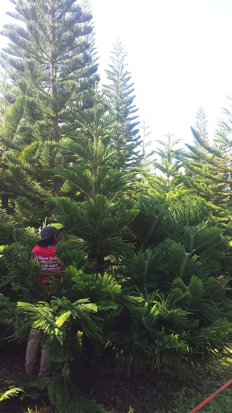 buy christmas tree cuttings hawaii tree farm cutting tree aloha lovely