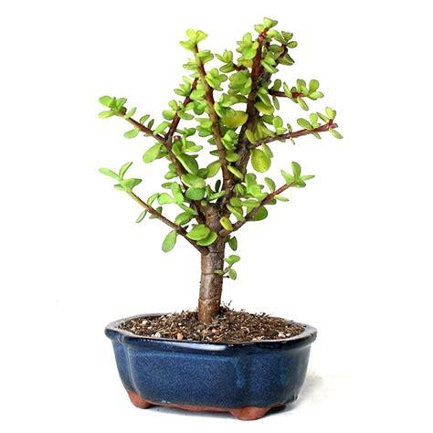 buy jade lucky plant bonsai  years