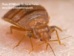 Bed Bugs New York City by New York City Bed Bugs Are Evolving Part Ii Of Ii Sterns