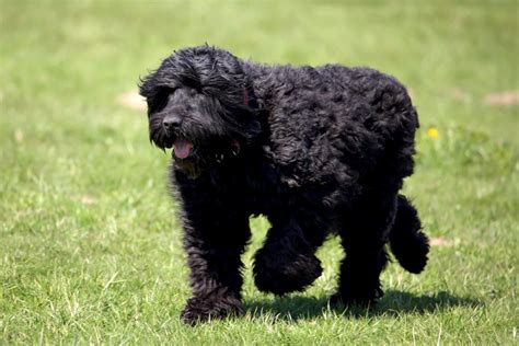 russian doodle puppy black russian terrier dogs breed information omlet