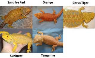 types bearded dragons learn types colors