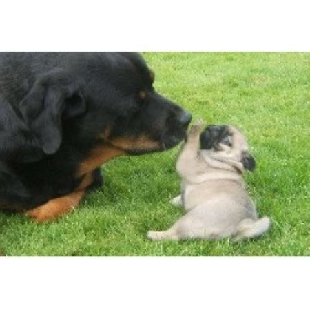 pugs for sale in alberta hyclass pug breeder in summerland columbia