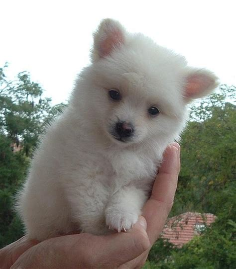 coat pomeranian puppies for sale deer chihuahua for sale uk