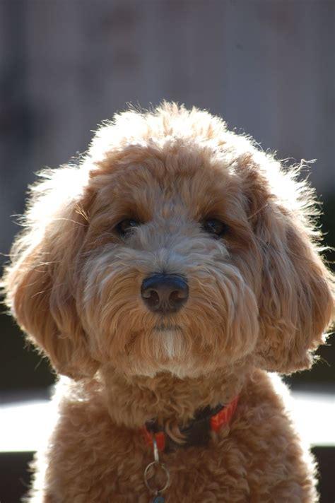 goldendoodle puppy kopen goldendoodle