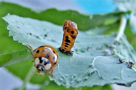 what color are ladybugs ladybug pupa gallery