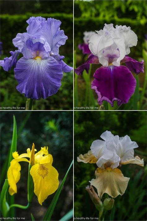 how to plant bearded iris