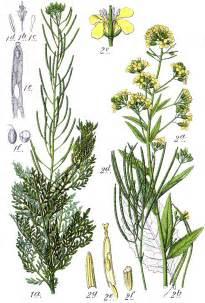 Importance Of Plant Diseases - brassicaceae cruciferae cress