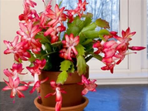 how much darkness do christmas cactus need care culture of cactus