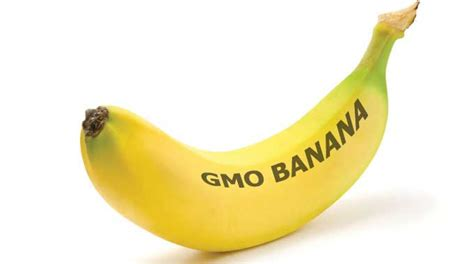 Pp Banana Ie shocking non tested gmo bananas are going to be used in experiment on american students