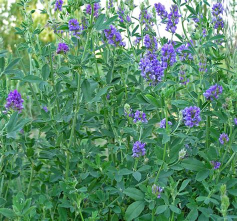 Herbal Bee Alfalfa Seeds For Herbal Tea Plants For The Garden