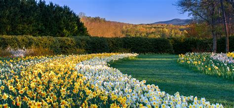 Gibbs Garden by Daffodils For Every Garden Gibbs Gardens