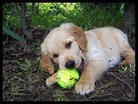 roundworm treatment for puppies roundworms in dogs roundworm treatment