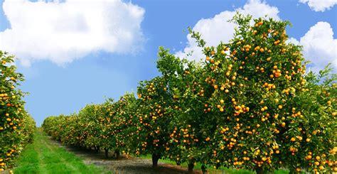 fields for growing fruit trees panoramio photo of 驻专讚住 诪讜砖讘 拽诇讞讬诐 鶌 鶉 鶇鶊 鶃 鶅鶆 鶌鶇