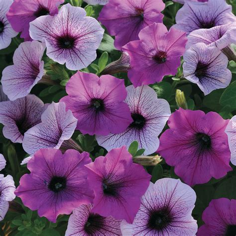 easy wave plum pudding mix petunia seeds from park seed