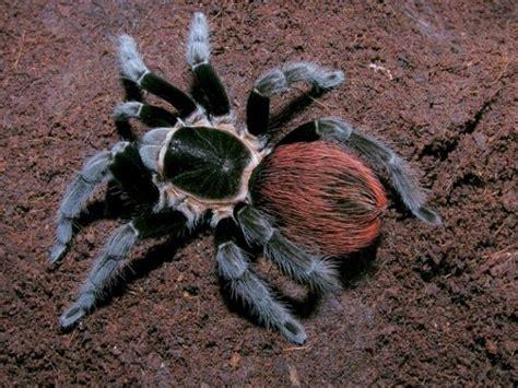 Brachypelma Auratum Baby Tarantula 1 brachypelma vagans 4cm mexican redrump spidersworld eu