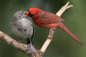 North American Backyard Birds Photo Of The Week Northern Cardinal And Brown Headed