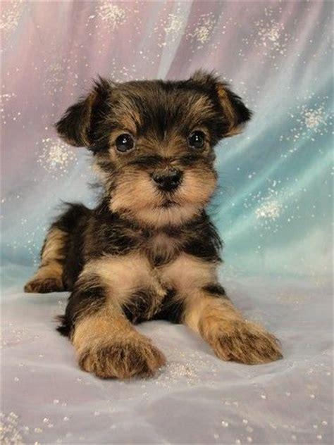 keystone puppies review image gallery snorkie