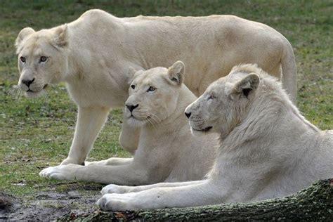 Gajah Putih 10 10 hewan putih yang jarang terlihat dunia binatang
