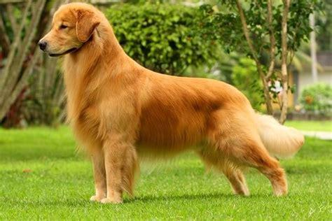 golden retriever caracteristicas caracter golden retriever breeds picture