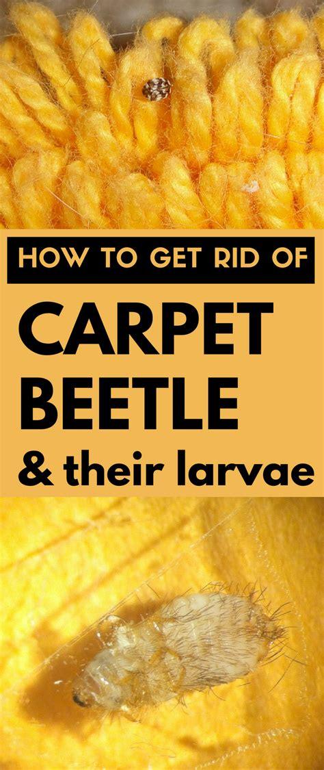 how to get rid of carpet beetles in my bedroom how to get rid of carpet beetle and their larvae