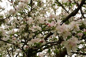 file apple tree flowers blooms west virginia forestwander jpg