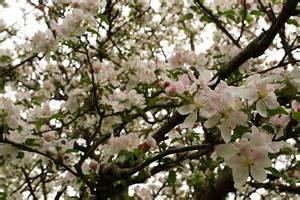 Flower Tree Pictures - file apple tree flowers blooms west virginia